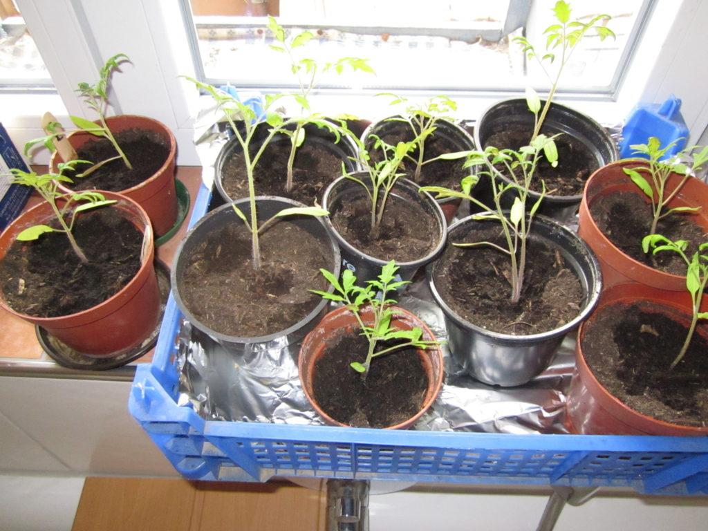 Tomaten selber ziehen
